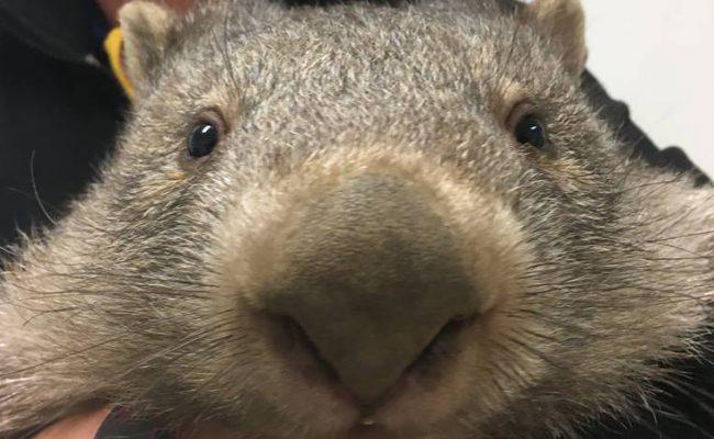 Wombat 300×259